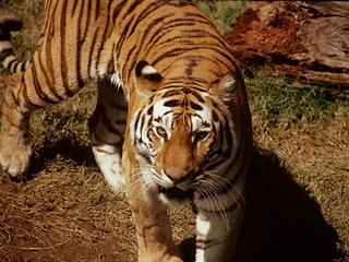 De leder tiger jakten